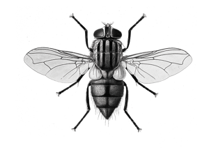 HornFly.png